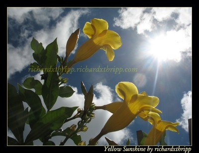 Yellow Sunshine (source image)